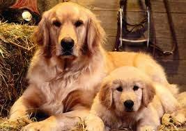 hairy hounds